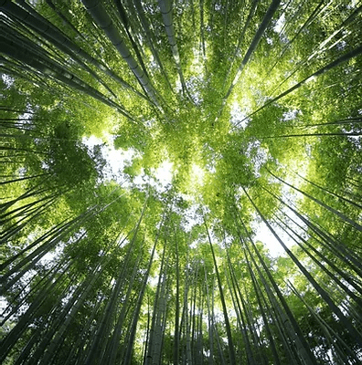 Entretien / Eradication de Bambousaies