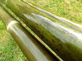 Photo d'un bambou vert.