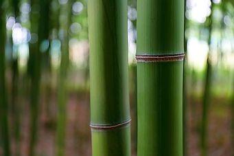 Photo de bambous verts en gros plan.