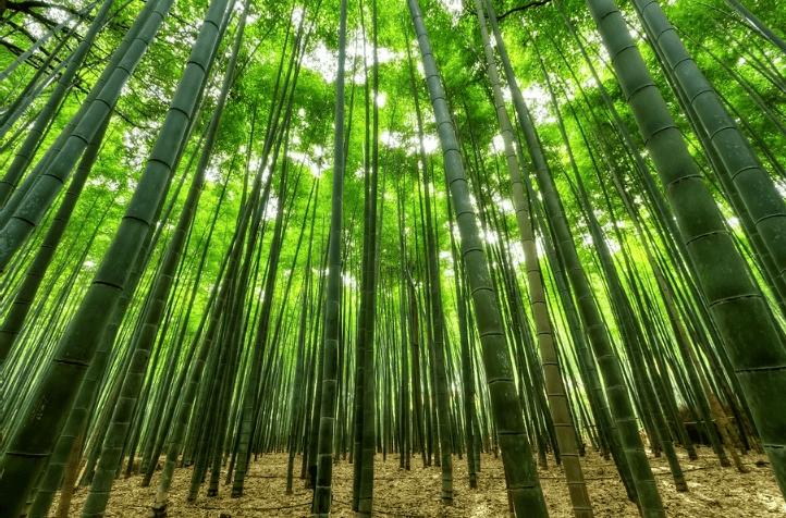 Image d'une bambousaie en plein jour.